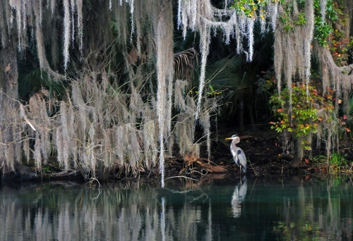 Blue Springs Heron